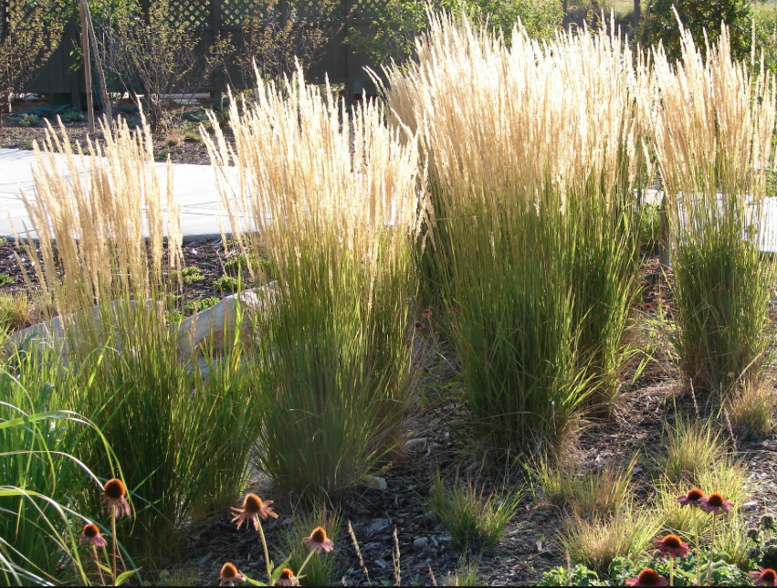 Pin by workshop8 on lyons landscape pinterest grasses for Very tall ornamental grasses