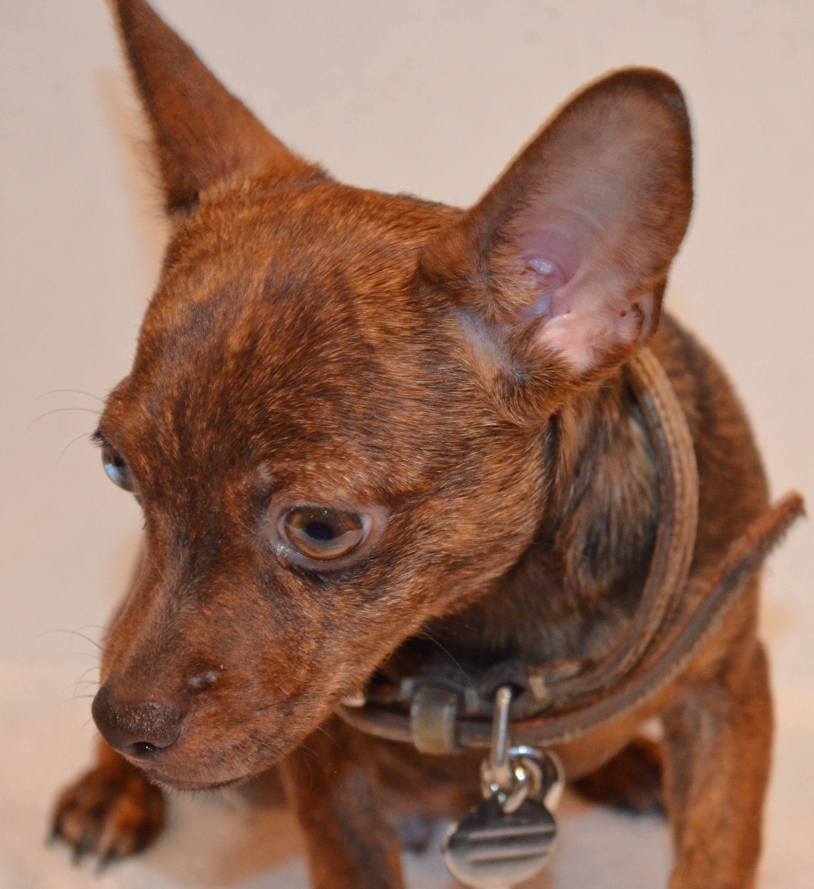 5280 Winchester Chocolate Brindle Rat Terrier Puppies Lap Dogs