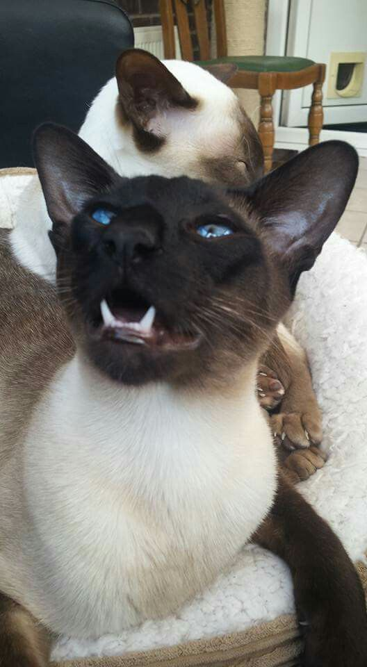 Pin By Marlinda Potter On Animals Beautiful Cats Siamese Cats Oriental Cat