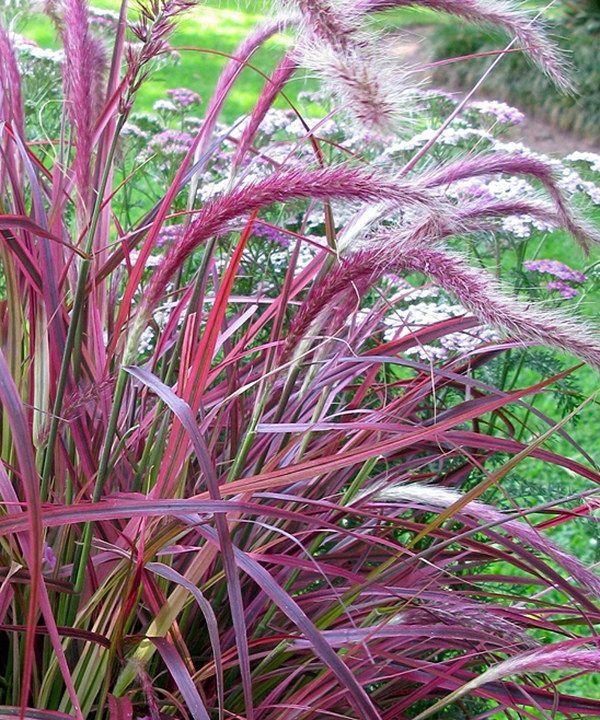 Look at this Live Pennisetum \u0027Fireworks\u0027 Grass - Set of Three on