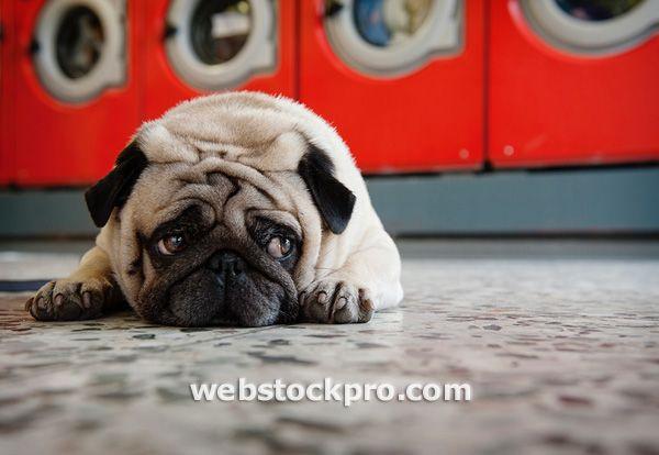 Pug Laying On Laundromat Floor Stock Photography Best Dog Food