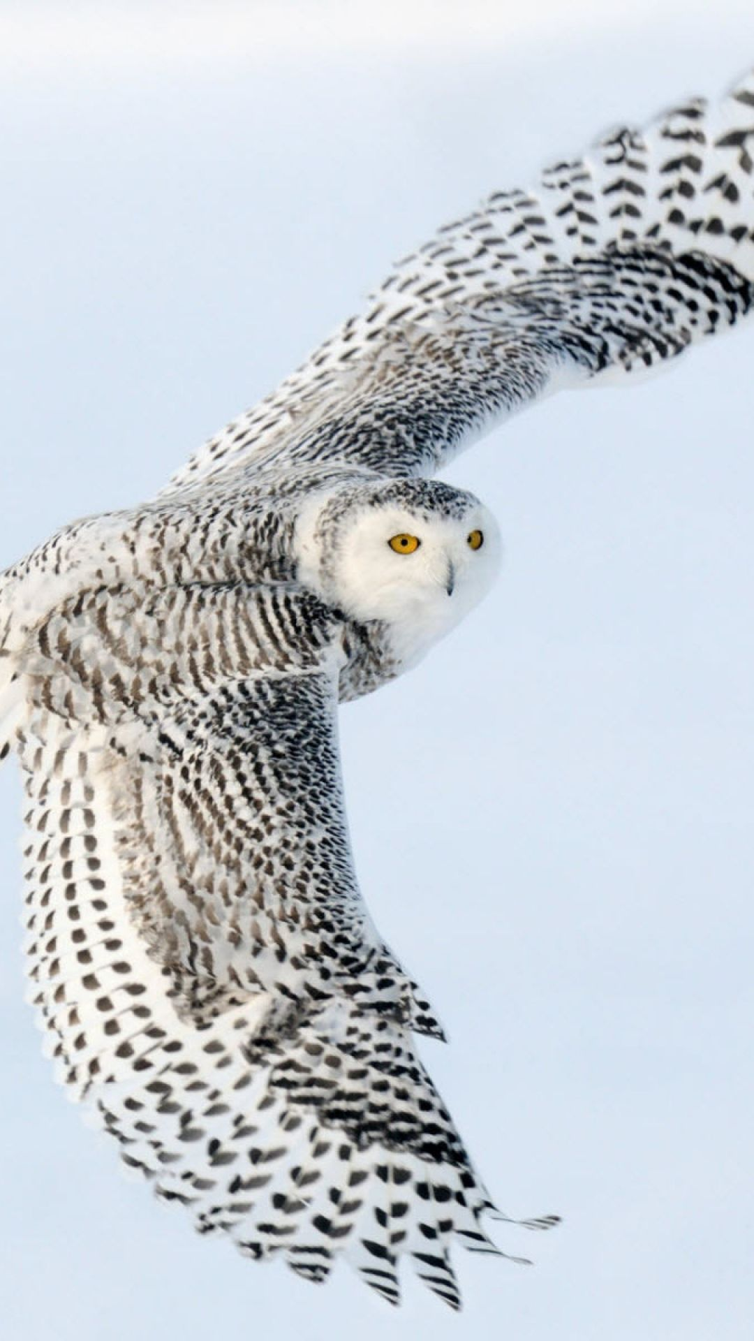 Snowy Owl on the wing..what magnificence (female)