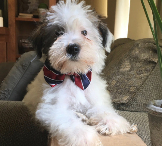 Sheepadoodle Breeders Indiana Feathers And Fleece Farm Sheepadoodle Whoodle Puppy Sheepadoodle Puppy