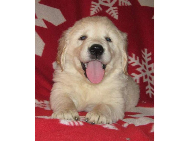 Puppies For Sale Golden Retrievers Goldens In Rock Stream