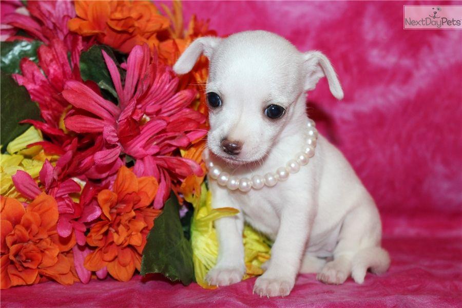 Chihuahua Puppy For Sale Near Mcallen Edinburg Texas 7d23b3e8 06c1 Cute Chihuahua Chihuahua Chihuahua Puppies
