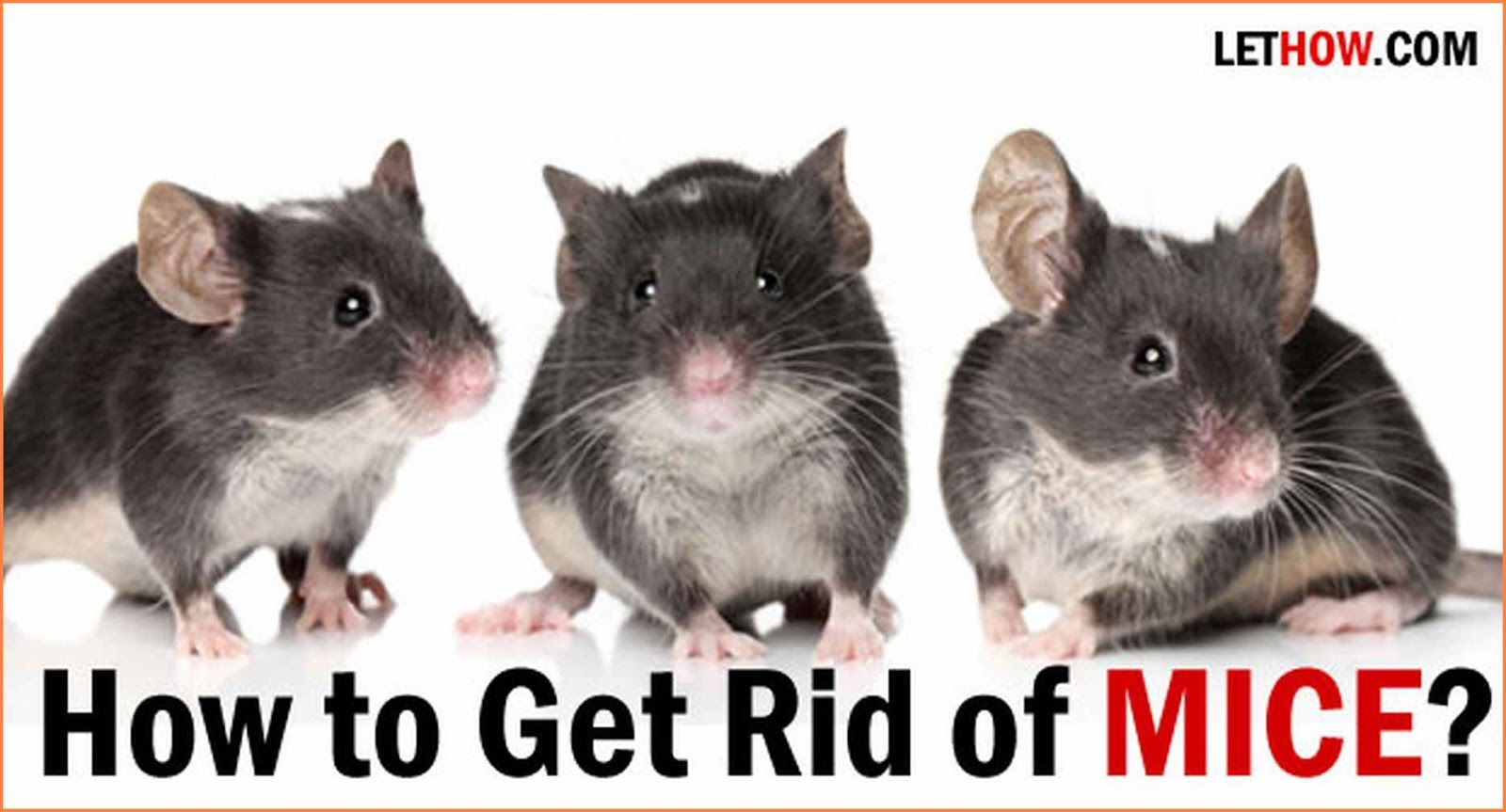 How To Get Rid Of Field Mouse In Your Home Bruin Blog