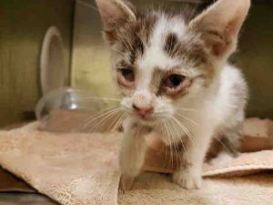 Augustus Is A 5 Week Old Kitten With Conjunctivitis And A Cold Has Patches Of Alopecia And Needs A Fungal Culture Done Needs Cat Help Cute Animals Animals