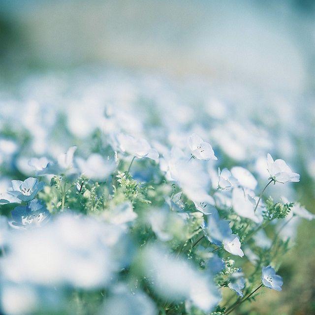 aphelia:  nemophila by **mog** on Flickr.