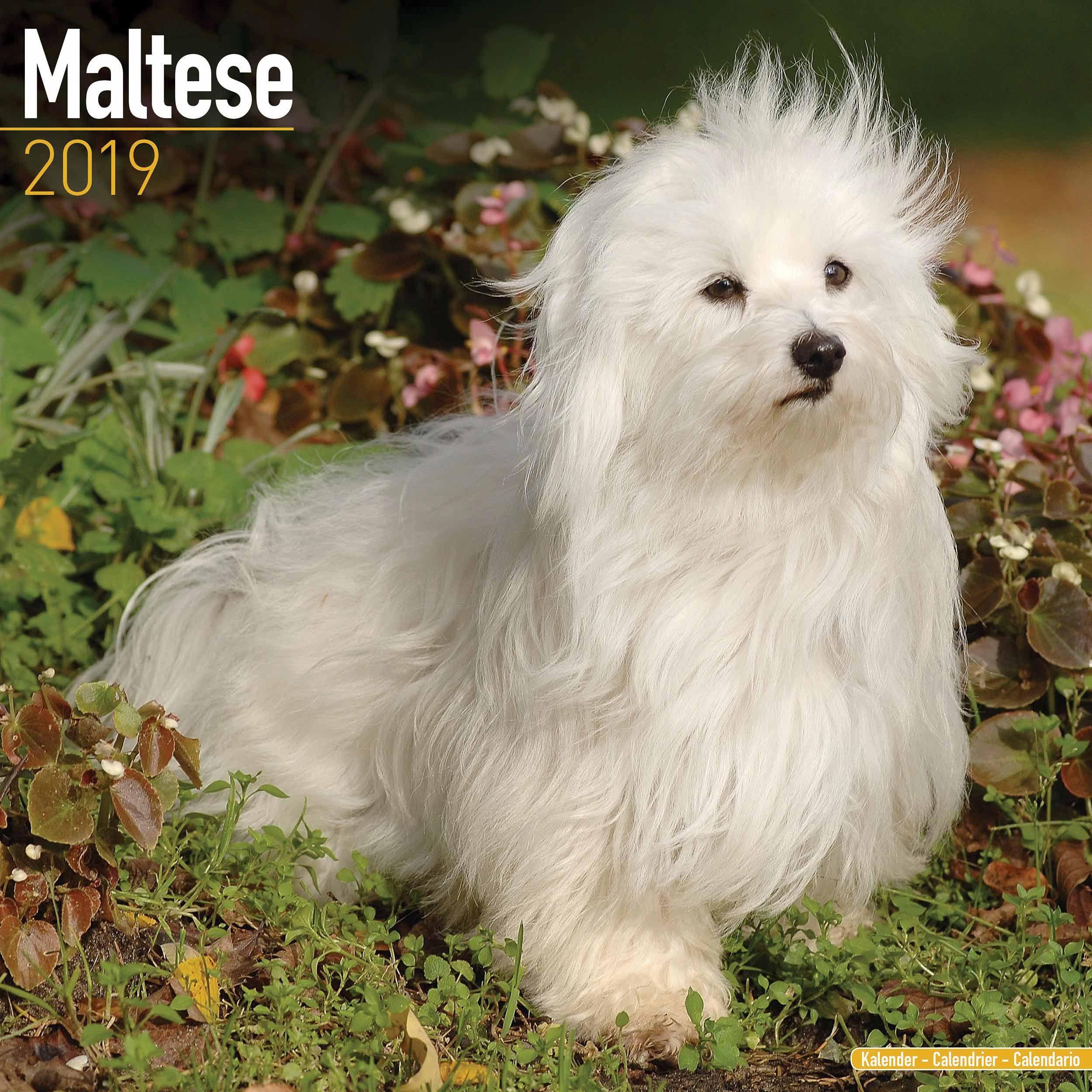 Maltese Calendar 2020 Maltese Dog Breeds Little Dogs