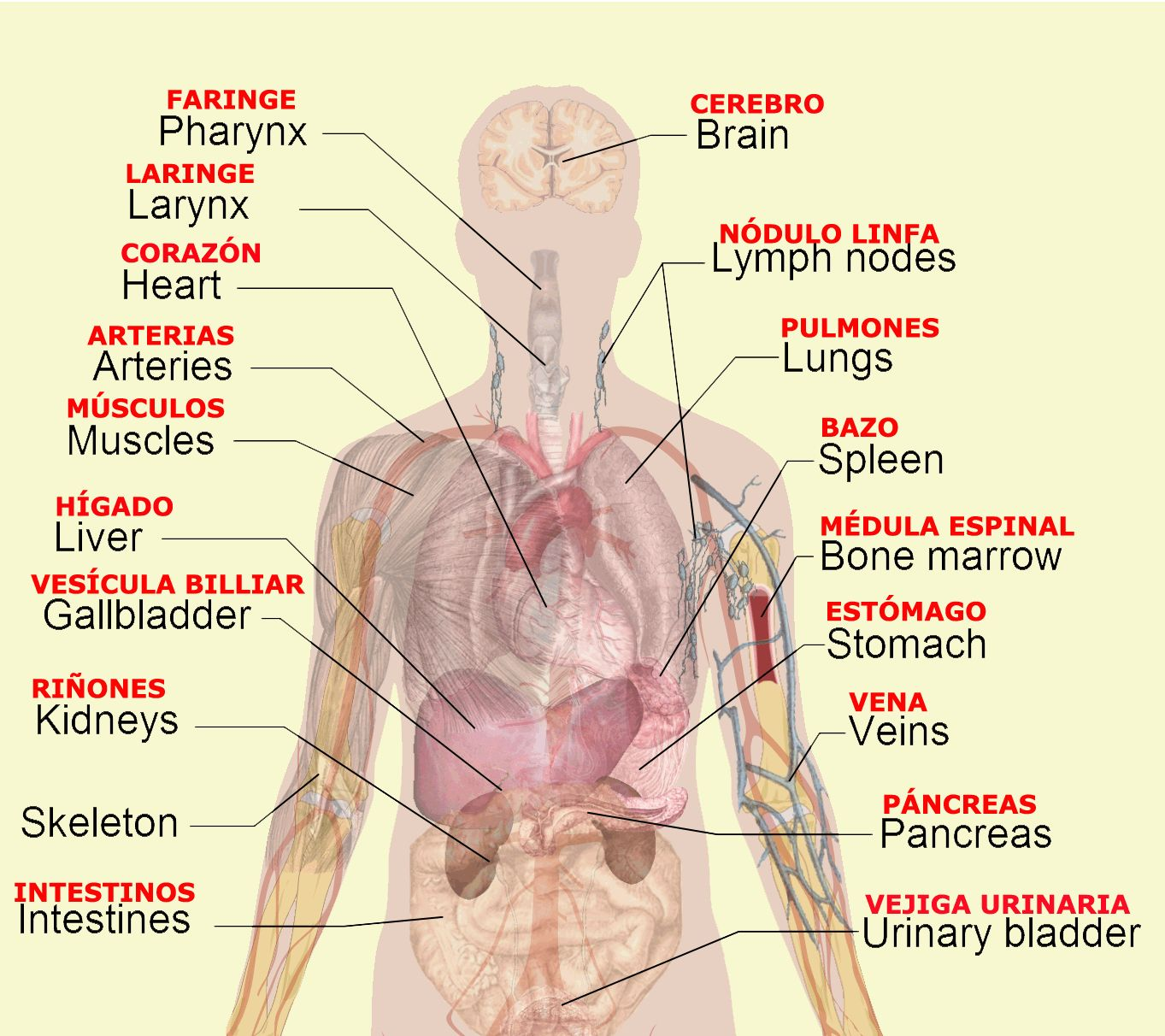 Left Side Of Body Anatomy Human Anatomy Drawing Body Diagram