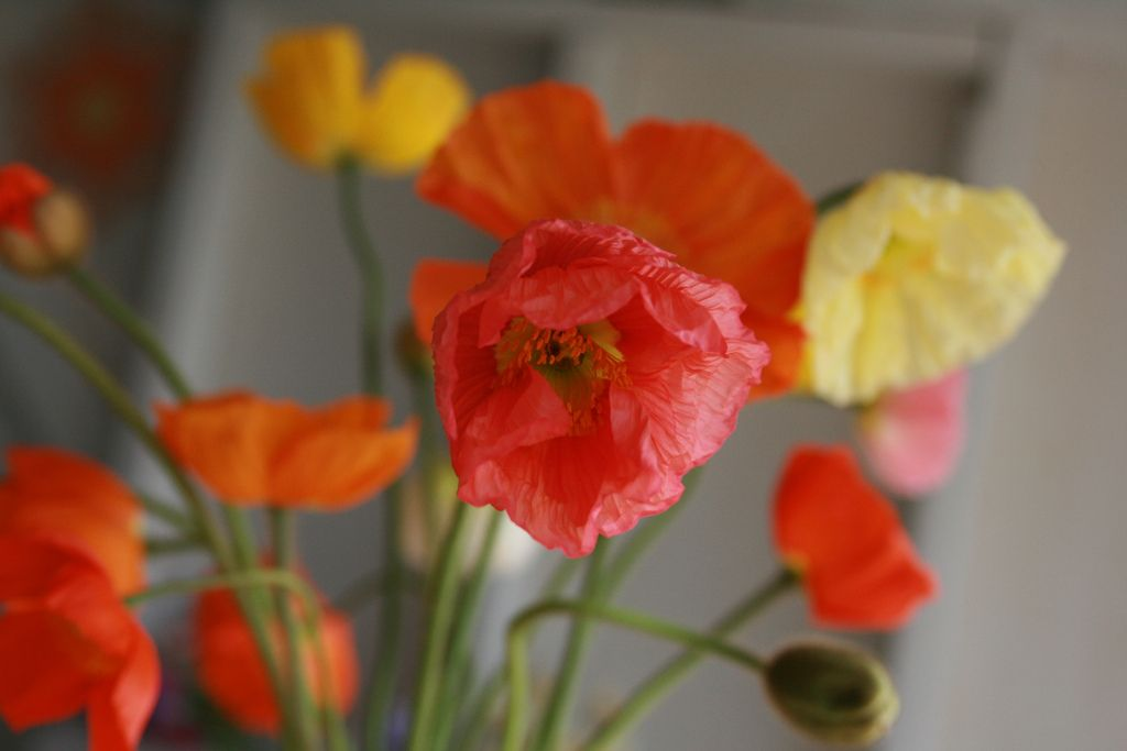 Flower focus iceland poppy primer plants gardens and flower farm how to plant and care for poppies floret farm mightylinksfo