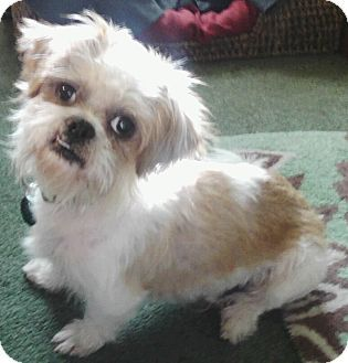 Shih Tzu Chihuahua Mix Google Search Chihuahua Mix Unique Dog Breeds Hybrid Dogs