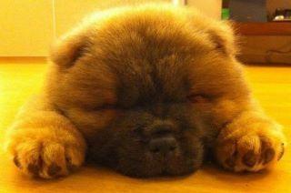 So Tired Zzzzzzz Cute Animals Animals Beautiful Chow