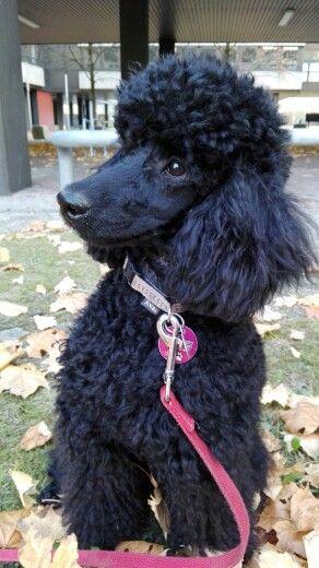 Die Erste Pudel Frisur Cute Dogs Poodle Dogs
