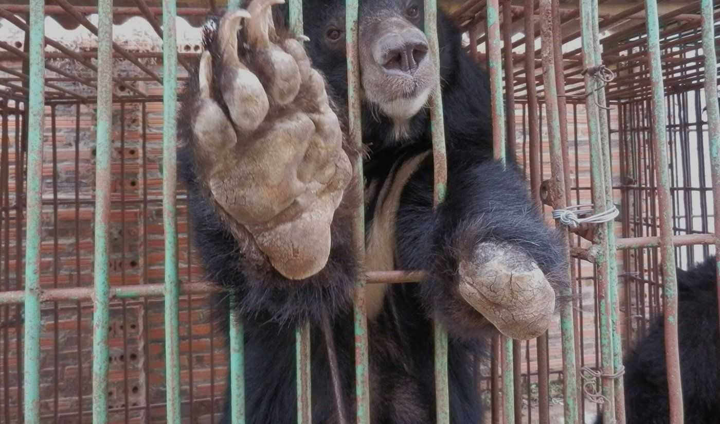 """Save The Halong Bay Bears """"There are now believed to be"""