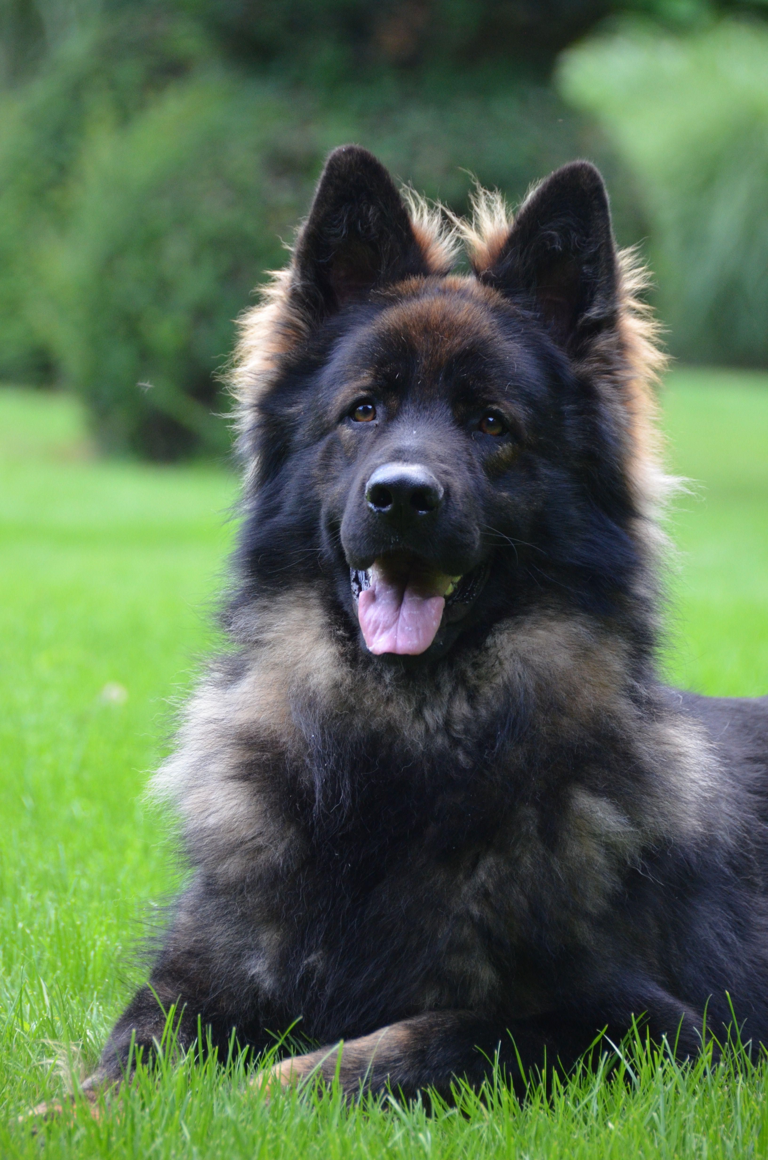 Abel vom jakobsberg awesome german shepherds pinterest dogs