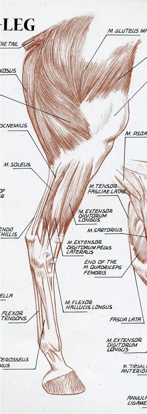 Perfecto Anatomía Pata Delantera Caballo Cresta - Anatomía de Las ...