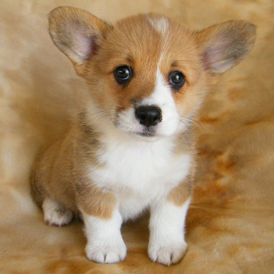 Pembroke Puppies Puppies Cute Animals Animals And Pets