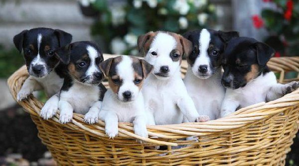 Jack Russell Terrier Puppies For Sale Jack Russell Terrier Puppies For Sale Offer Hampshire Hampshire 300 Com Imagens Russel