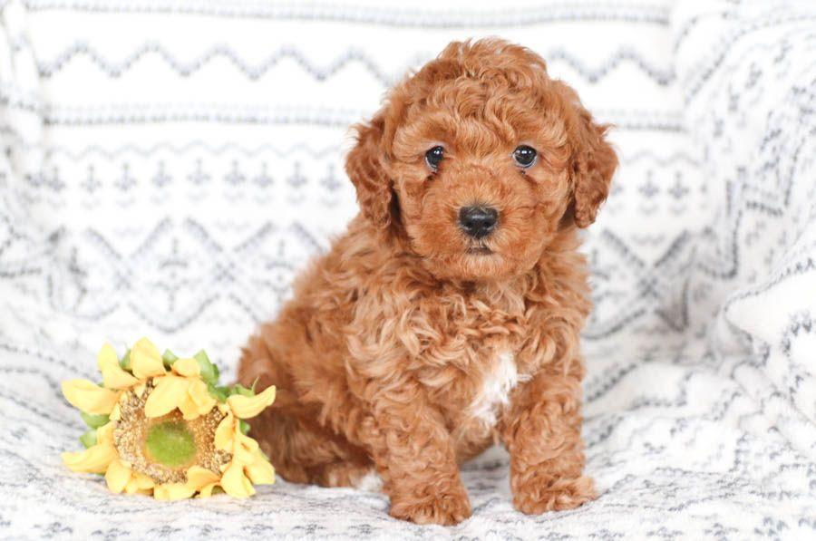 Mini Goldendoodle Puppies For Sale Mini Goldendoodle Puppies Goldendoodle Puppy For Sale Mini Goldendoodle