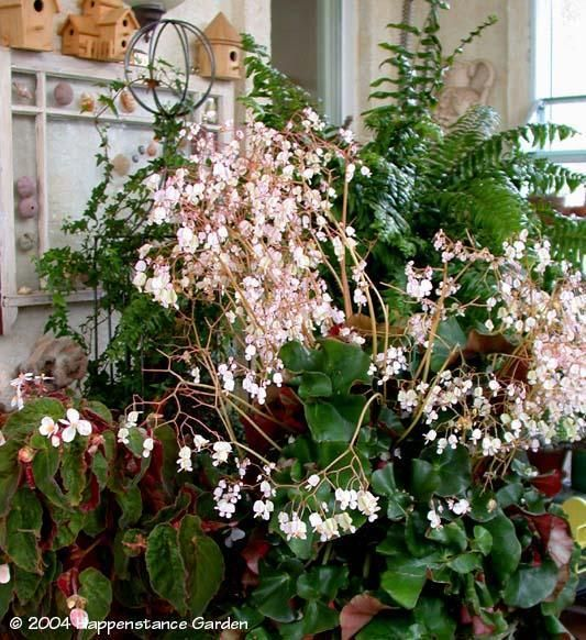 Full Size Picture Of Beefsteak Begonia Erythrophylla Ibegonia I Begonia Plants House Plant Care