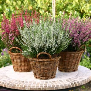 Heather Great For Colour All Year Round Bulb Flowers Heather Plant Plants