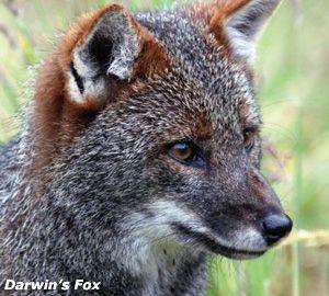 Zoe - Darwin's fox