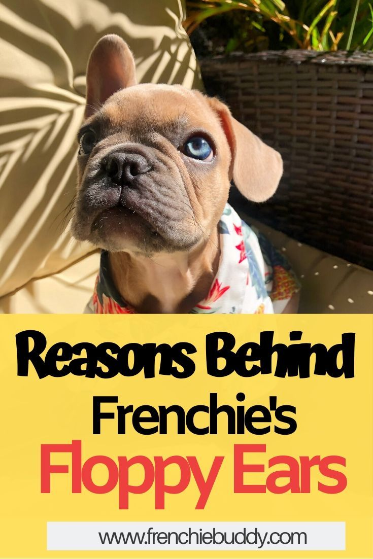 Reasons behind French Bulldog's Floppy Ears in 2020