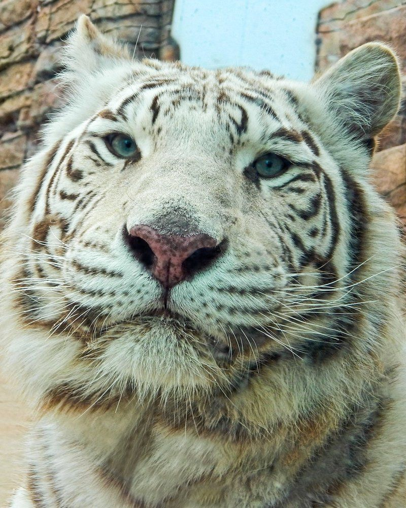 Tiger Photographer is woxys. Big cat family, White tiger