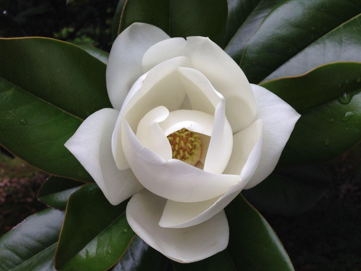 Magnolia Magnolia Tattoo Southern Magnolia