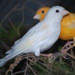 تحميل أحلي صور عصافير الكناري Canary Birds Canary Birds Canary Birds