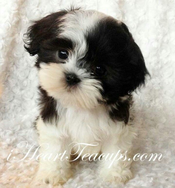 Teacup Malshi Puppies Cute Little Dogs Teacup Puppies