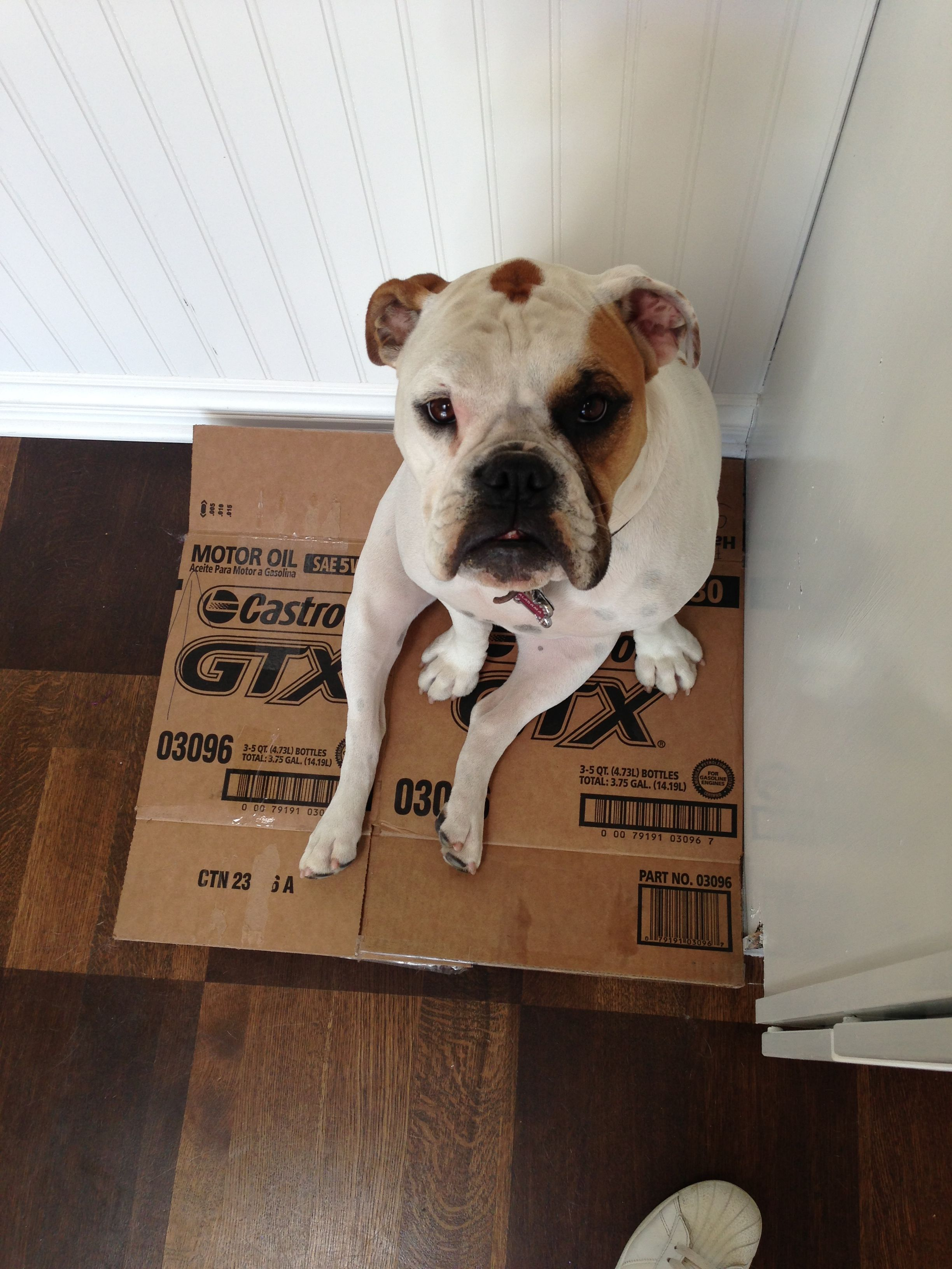 My Valley Bulldog English Bulldog Boxer Mix Sits Like A Lady