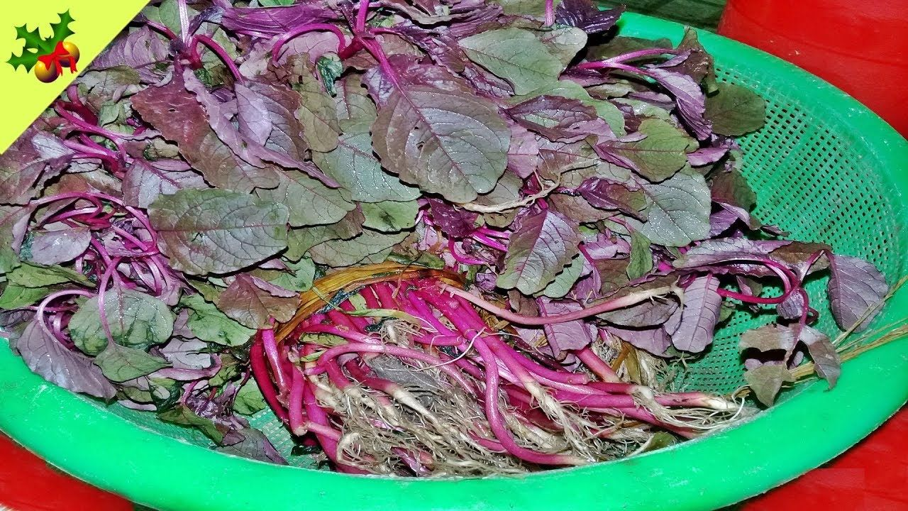 Village food factory youtube how to cook red spinach recipe lak shak village food factory youtube how to cook red spinach recipe lak shak recipe village forumfinder Choice Image