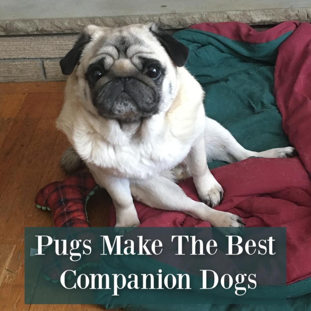 Pugs Make The Best Companion Dogs Companion Dog Cute Little