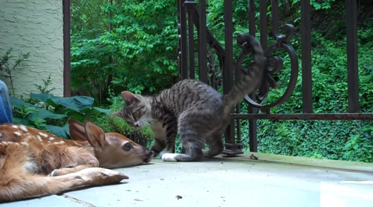 Kitten Can T Contain Her Curiosity When She Spots A Baby Deer On Their Porch Baby Deer Animals Interesting Animals