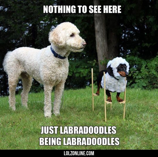 Wonderful Labradoodle Anime Adorable Dog - f2b3570dd7c83ef98acd716214157ac0  Graphic_766535  .jpg