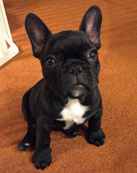 Larry The French Bulldog Dale Holman Maine Cute Puppy Names