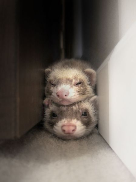 Can You Be My Bed Sure Ahhhhhh Snor Funny Ferrets Cute Ferrets Baby Ferrets