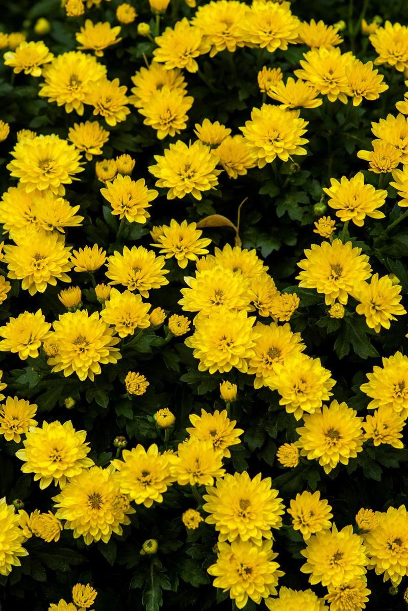 Wallpaper Day flowers, yellow, chrysanthemums, bloom for