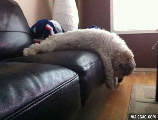 Sleeping pets #dog #sofa