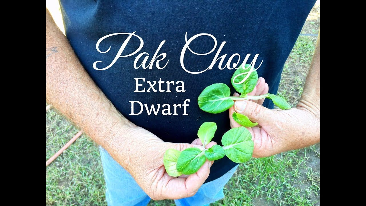Hd how to grow extra dwarf pak choy in containers