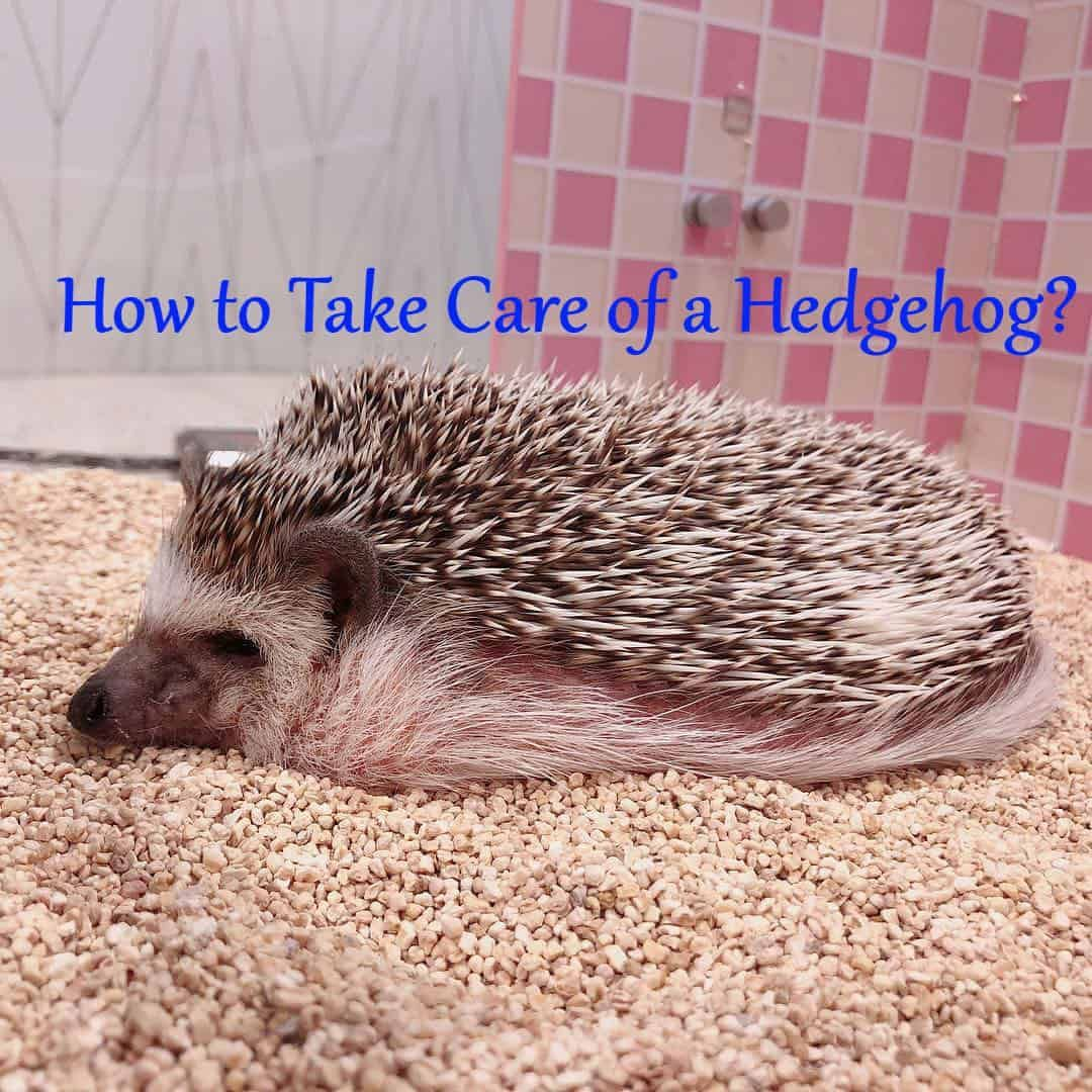 How To Take Care Of A Hedgehog Hedgehogs Often Come From The Wild They Do Not Like Being Caged And May Take A While G Hedgehog Pet Cage Hedgehog Pet Hedgehog