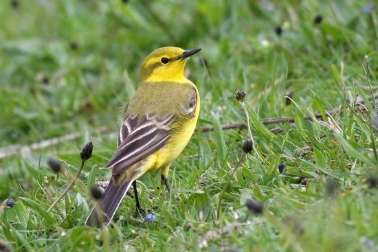yellow wagtail uk garden birds pinterest yellow. Black Bedroom Furniture Sets. Home Design Ideas