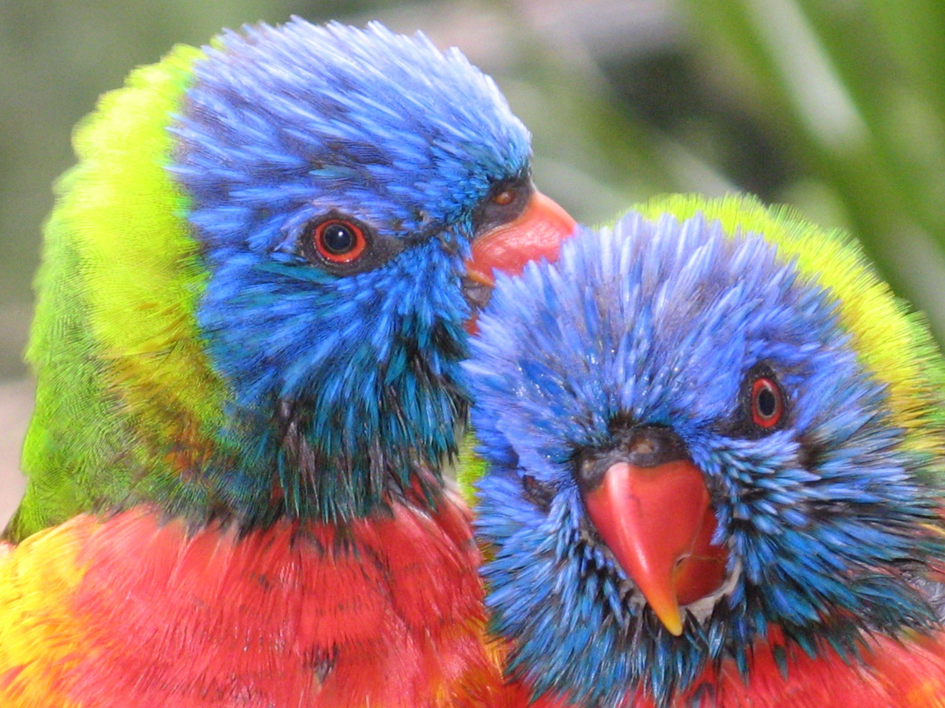 Photo Of Baby Rainbow Lorikeets Hummingbird Pictures Beautiful