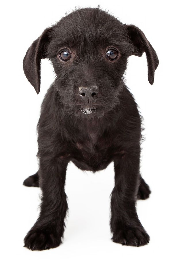 Patterpoo Dog Breed Terripoo Dog Breed Health Temperament Training Feeding And Grooming Petguide Dog Breeds Patterdale Terrier Breeds