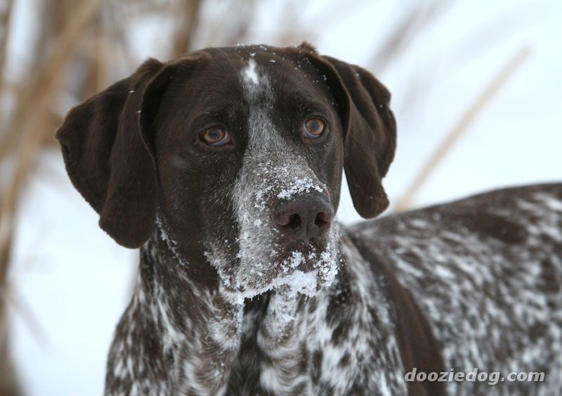 German Short Hair Pointers Great Family Dogs My