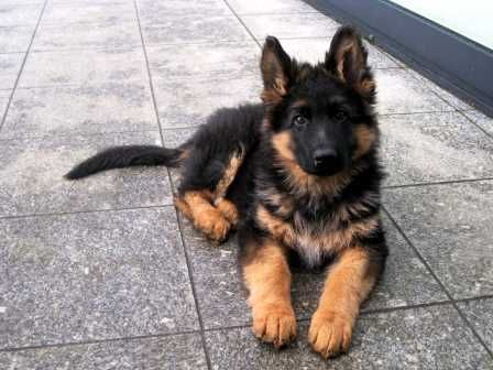 Langharige Duitse Herder Pups Google Zoeken Duitse