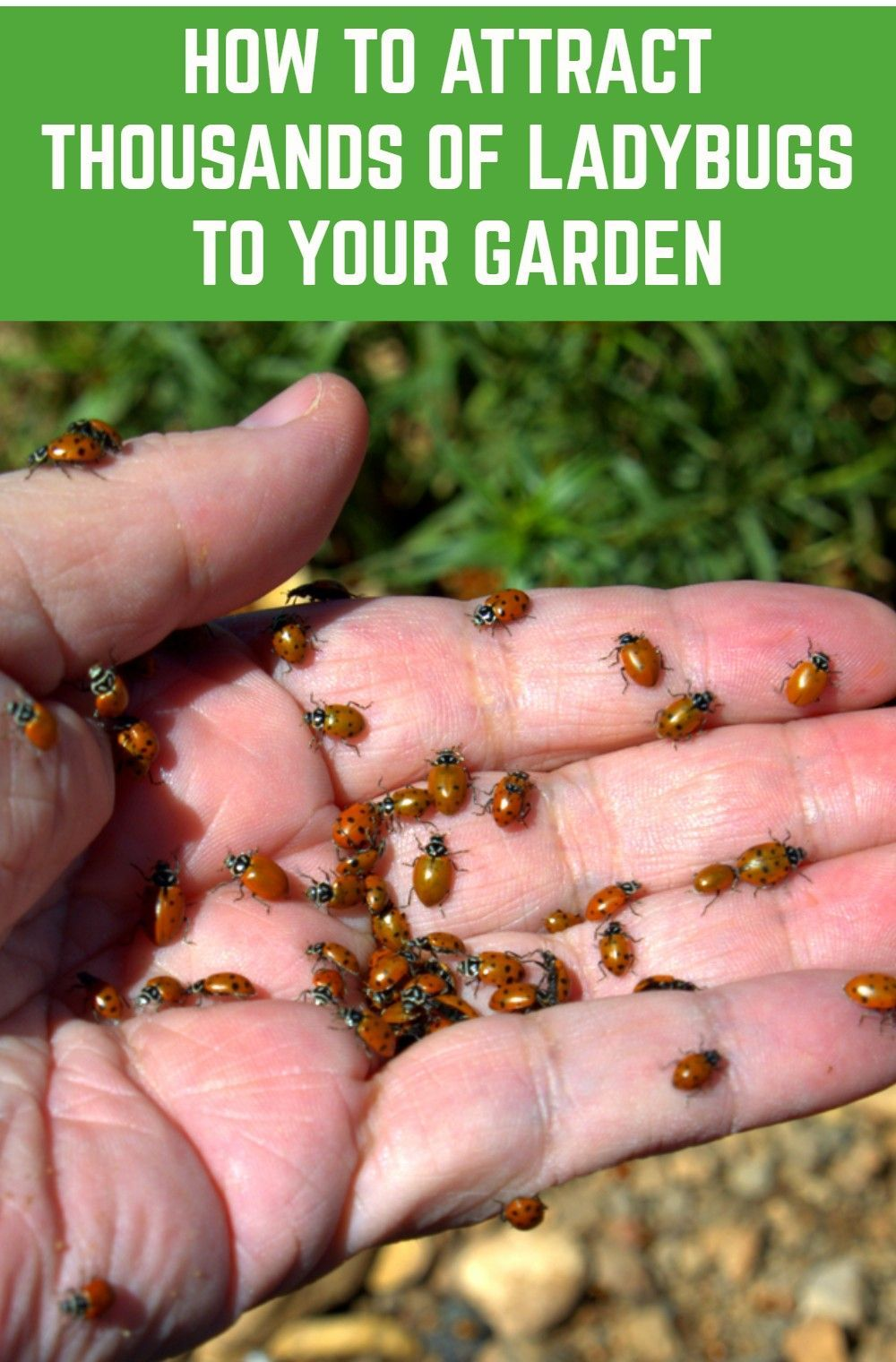 How To Attract Thousands Of Ladybugs To Your Garden & Keep Them There #outdoorherbgarden