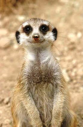 meerkat smile | Smiling animals, Cute animals, Laughing animals